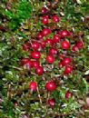 Cranberry Extract(Anthocyanidins Anthocyanin25%)